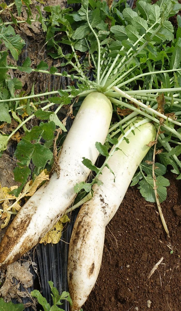 daikon - 野菜作りにハマってます!