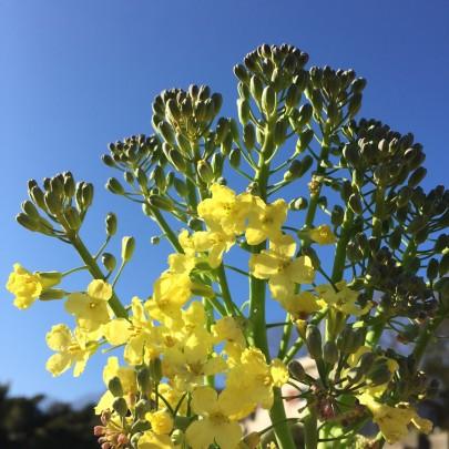 blog 405x405 - 菜の花