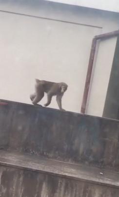 saru 244x405 - 猿が出た!